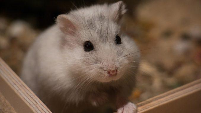 Freilaufgehege für Hamster