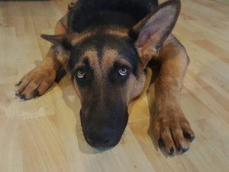 rinderfettpulver hund