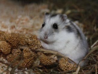 Was dürfen Hamster fressen?