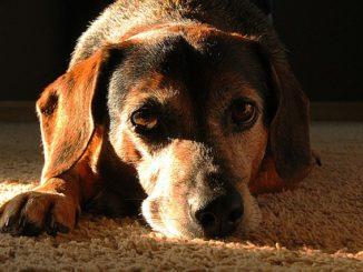 Haferflocken für den Hund
