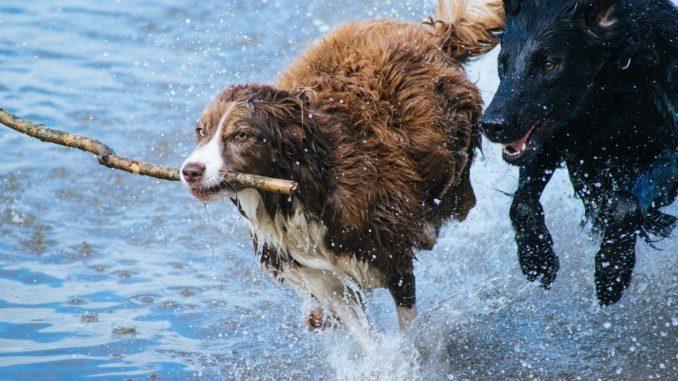 flohsamenschalen hund