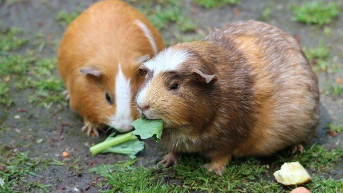 wie alt werden meerschweinchen