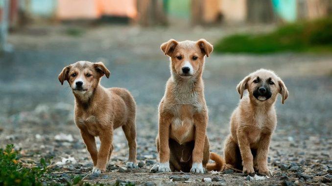 giardien hund