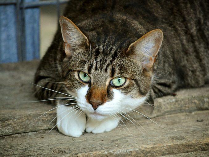 FORL bei Katzen